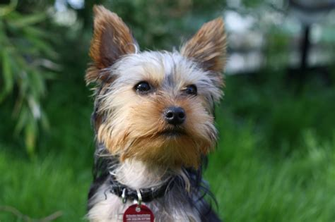 911 yorkie rescue 5 surprisingly awesome apartment dogs rover