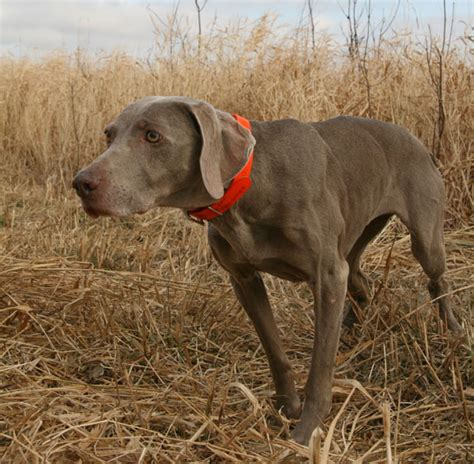 how to gun dogs what you need to about gun breed registration gun magazine