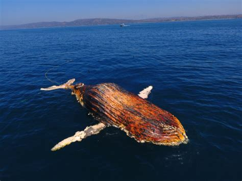Wally The Whale X A W T B Fait La - wally the dead whale drifts to shore in point