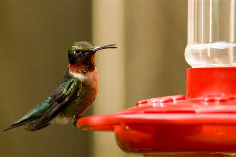 attracting hummingbirds to your yard effective wildlife