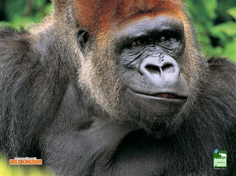 gorilla wallpapers fun animals wiki  pictures