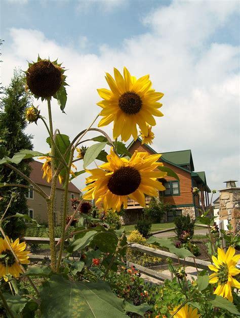 913 Best ᔕ υ и ƒ ℓ Ꮤ ǝ я ᔕ Images On Pinterest Sunflower Garden Ideas