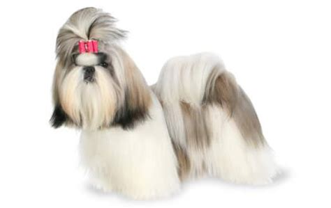 do shih tzu dogs shed hair top 21 dogs that don t shed dogtime