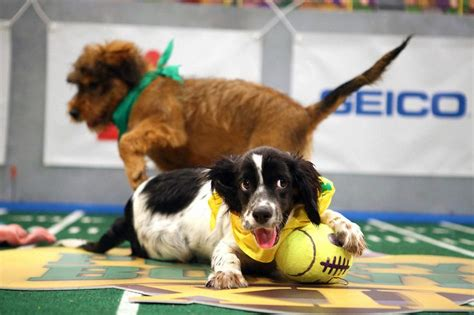 puppy bowl referee 1000 ideas about on cheer pics cheer pictures and