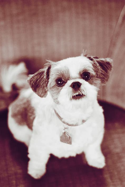 what to feed shih tzu food what to feed a shih tzu 2015 personal