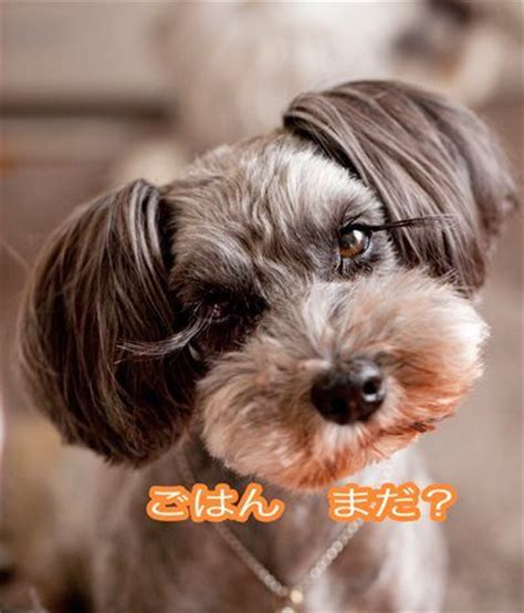 pictures miniature schnauzer with long hair cutest miniature schnauzers from japan they keep the hair