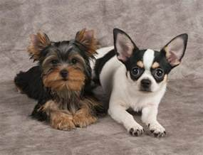 haired dorkie mixes 13 pictures of chihuahua yorkie mix a k a chorkie and