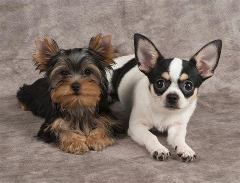 chihuahua yorkie mix puppies personality traits of the tiny and lovable chihuahua yorkie mix