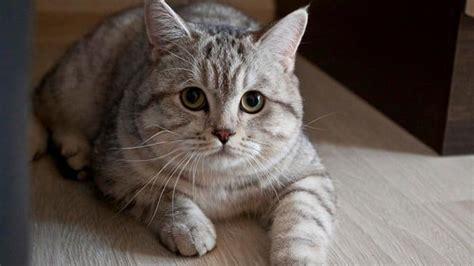 mengobati bau mulut  kucing secara alami
