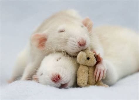 Adorable Pets by 18 Adorable Rat Pics Proving That They Can Be The Cutest