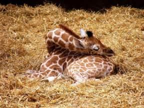 Adorable and rare look at how giraffes sleep