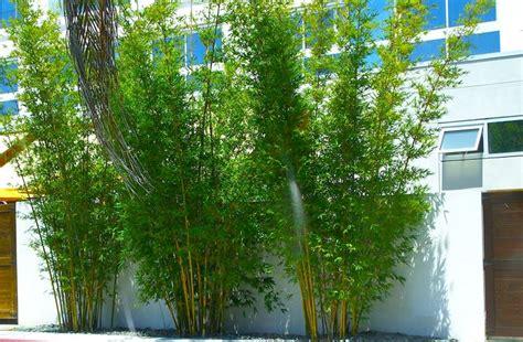 bamboo in vaso bamb 249 piante da giardino pianta di bamb 249
