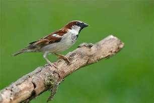 Most Common Backyard Birds - house sparrow audubon field guide