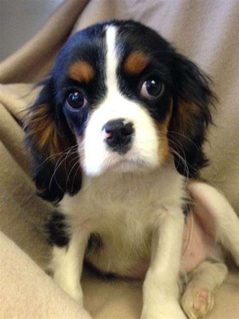 spaniel puppies rescue cavalier king charles spaniel rescue puppies picture breeders guide
