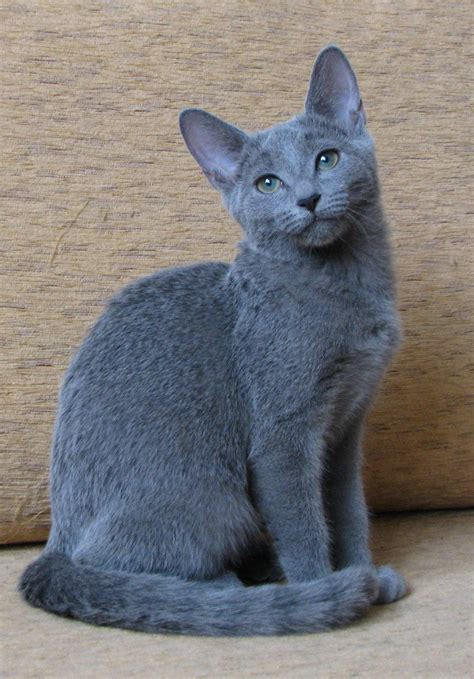 Blue Cat For russian blue here
