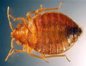 how far do bed bugs travel a real nightmare bedbugs biting all over u s health health care