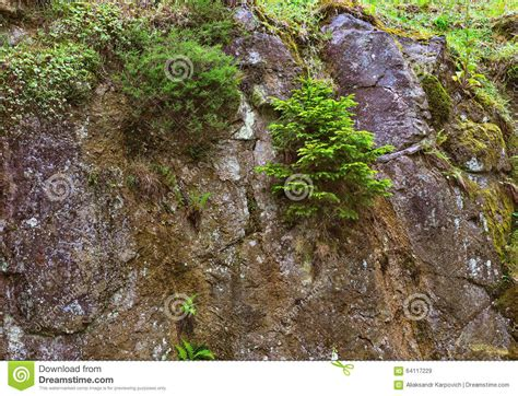 spruce and other plants growing on the rocks stock photo image 64117229