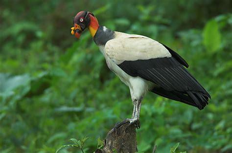 imagenes chistosas de zopilotes fotograf 237 a de la naturaleza alguazul el zopilote rey