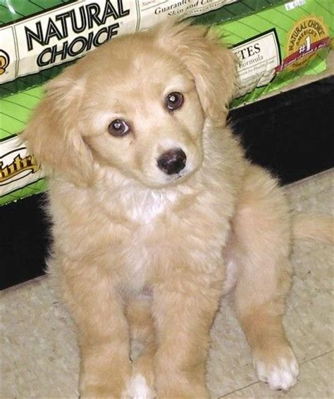 golden retriever dachshund mix for sale 17 best images about dogs on spaniels american eskimo and puppys