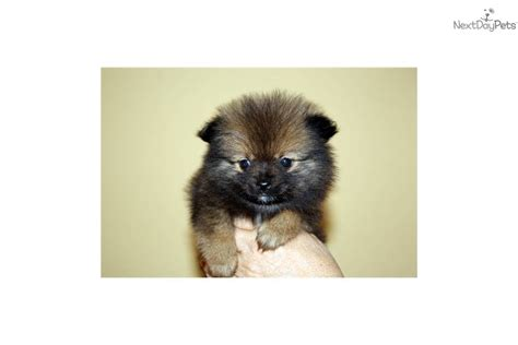 tiny teacup pomeranian tiny micro teacup pomernian breeds picture