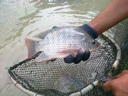 Bibit Ikan Nila Paling Bagus persiapan kolam sebelum budidaya ikan nila rumahan