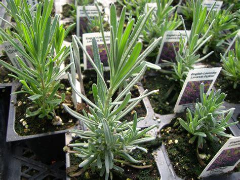 lavender english spike lavandula latifolia