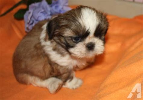 white and brown shih tzu shih tzu puppy brown and white for sale in gaylord michigan classified