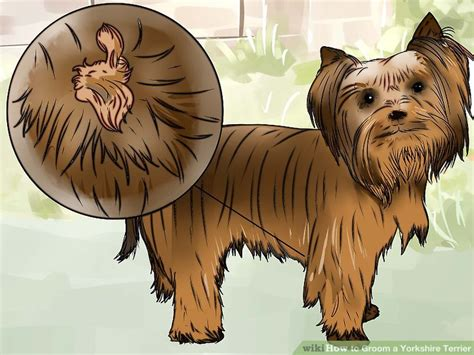 how to groom a yorkie puppy how to groom a terrier with pictures wikihow