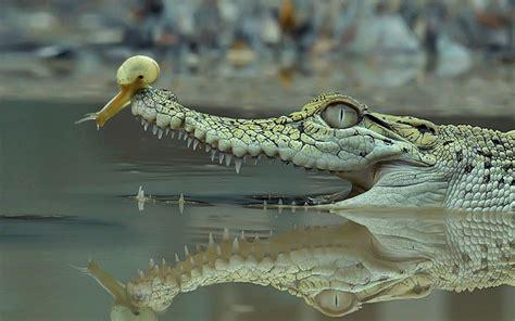 Kaos Crocodile Buaya Hijau Baru gambar seekor buaya dan keong warna kuning