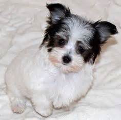 havanese and chihuahua mix cheenese havanese x chihuahua mix info puppies pictures