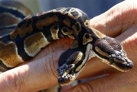 serpenti a due teste quando la realt 224 supera il mito il serpente a due teste