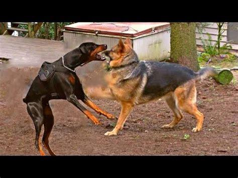rottweiler vs doberman vs german shepherd dobermann pinscher compilation funnydog tv