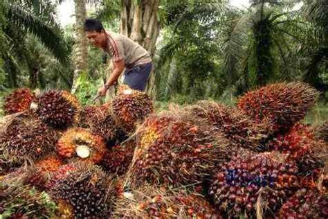 Minyak Kelapa Sawit Cpo harga cpo meluncur ke level terendah 1 bulan