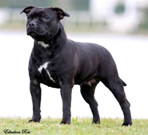 staffordshire bull terrier appartamento ra 231 as american