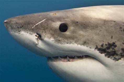baby shark eyes the great white shark masters of the sea 20 pics
