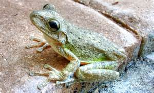 do tree frogs change color cuban tree frog changes colors