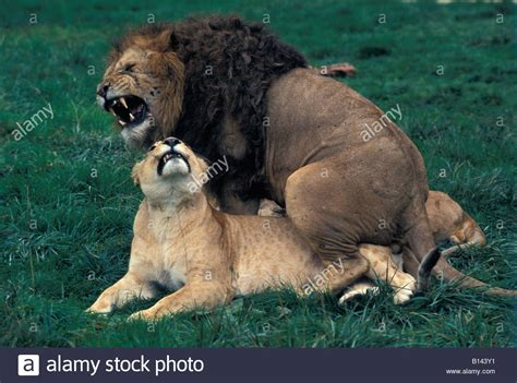 african animals mating videos african lions pair mating south africa panthera leo adult