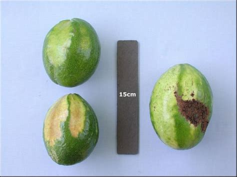 Hilo Avocado Avocado Diseases