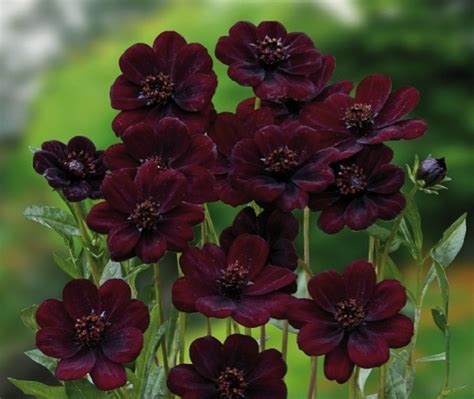 chocolate cosmos chocolate cosmos plants and flowers