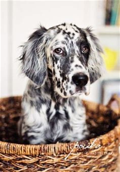 english setter dog 101 english setters english setter puppies and english on