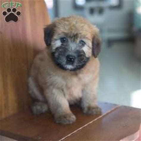 wheaten terrier puppies ohio soft coated wheaten terrier puppies for sale in de md ny nj philly dc and baltimore