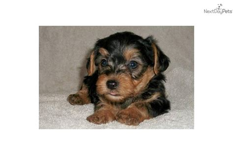 pictures yorkie poo puppies buy yorkie poo puppies yorkie poo dogs breeds picture