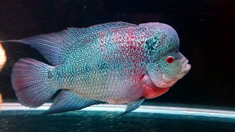 Pakan Ikan Louhan journey of flowerhorn louhan louhan rainbow king