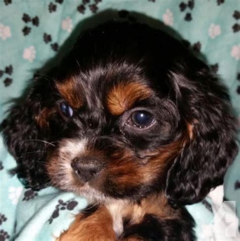 puppies for sale in portland oregon cocker spaniel puppies for sale in portland oregon classified