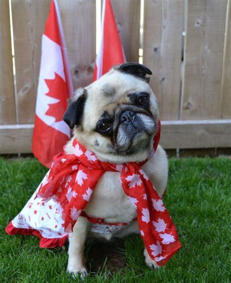 pug mug canada bailey puggins canada day pug pugcostume pugcanada pugcanadaday canadaday pug