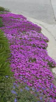 hot and dry drought tolerant ice plant delosperma is