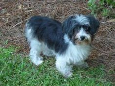 havanese rescue ga 1000 images about havanese rescue dogs on adoption rescue dogs and theater