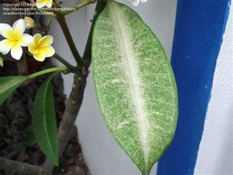 Journal Of Plant Disease - garden pests and diseases frangipani plumeria leaf problems 1 by billure