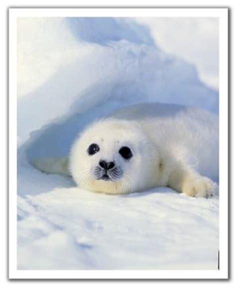 imagenes de focas blancas 301 moved permanently