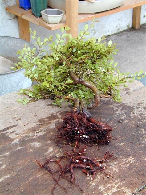 vasi per bonsai prezzi prezzo bonsai attrezzi e vasi per bonsai il prezzo